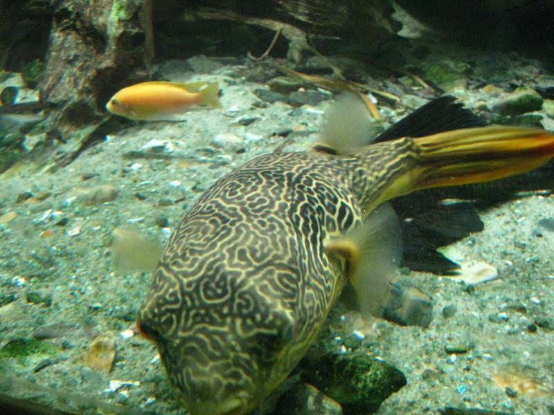 Puffer fish in Singapore zoo
