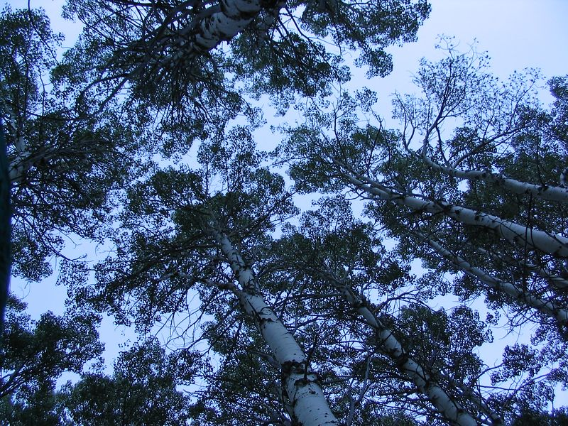 We were situated in an aspen grove.  An aspen grove consists of one organism with many trunks with interconnecting roots.  It's visible from this picture that the trees tend to interlock more than they compete with each other for sunlight.