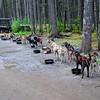 Amazing Iditarod and Yukon Quest dogs!