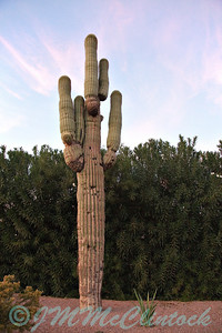 A Saquaro cactus on the hotel grounds.  This is the state cactus of Arizona and is an endangered species.  It can not be cut down or moved without a permit.