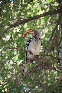 This is a yellow billed hornbill....a noisy bird that tried to snatch our lunch!  Wasn't there a character in The Lion King like this?  I think his name was Zazu but he might have been a different color.