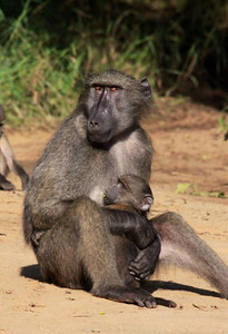 Another game drive this morning, this one in South Africa's oldest game preserve.  Not as many animals as in Kruger, but we did get to see some up close and personal.  Here, a mother baboon with her baby.