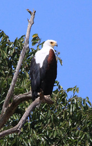 This is an African Fish Eagle.  Their diet consists primarily of fish, much like the osprey back home.  It is also similar to our bald eagle. but seemed a little smaller.