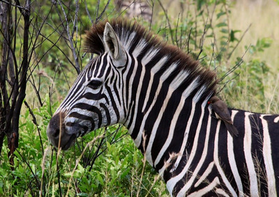 We saw a lot of zebras.  Here is one with an Ox Pecker bird on it.  The zebra and bird have a symbiotic relationship in which the birds eats the ticks and insects on the zebra.