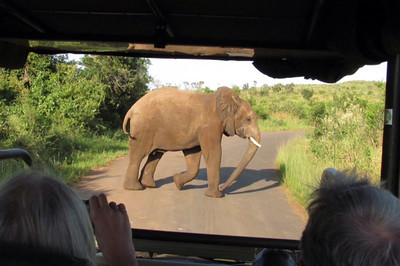 A young bull elephant crossed the road right in front of us ......