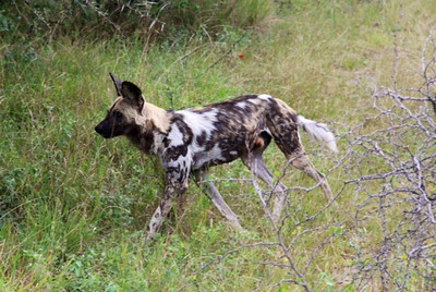 This is an African Wild Dog, an endangered species and a very rare sighting according to our guide!