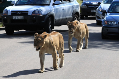 Traffic was backed up for more than a half hour!  Everyone wanted to see the lions!