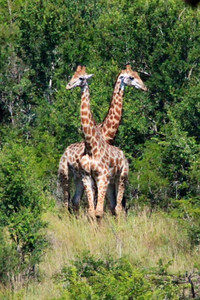 A unique two-headed giraffe!  :-))