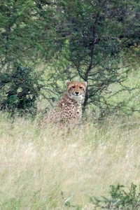 One of our prize sightings of the day was this cheetah.  They are only rarely seen.  This one was about 200 yards away.  This is a long telephoto and severely cropped.  It is grainy because of the severe cropping but you can still see a beautiful animal.
