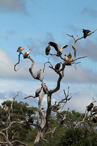 The vultures waited in a nearby tree for the lions to leave.