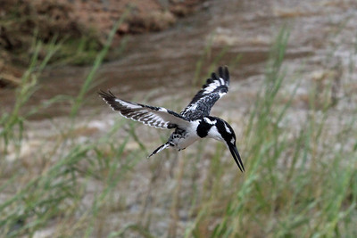 "This is a Pied Kingfisher.  It was just hovering like a helicopter in the air outside the window of our bus as we crossed a stream.  It was looking for small fish, frogs or other such ""delicacies"" to eat."
