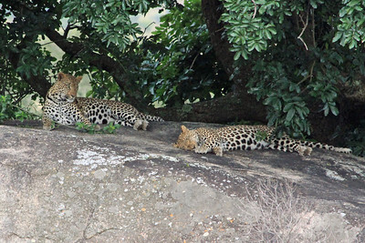 "We were fortunate to see a pair of leopards sleeping on a rock.  The big male lifted his head up for a few seconds to look around and then went back to sleep.  They are beautiful animals and another of ""The Big Five""."