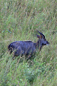 The first critter we saw was a Nyala, a kind of antelope similar to Kudu, but smaller and with smaller horns.