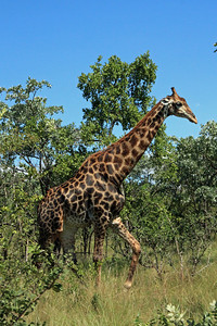 Another giraffe.