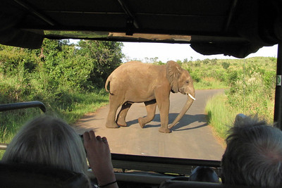 Early on our ride, this young bull elephant crossed right in front of our vehicle, requiring a quick stop.