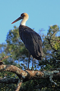 "A Marabou Stork.  It is an ""omnivore"", meaning it eats almost anything!  It is often found alongside vultures at a kill."