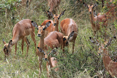 Impalas were in large herds with the females significantly outnumbering the males as can be seen in this photo.  Our guide told us that there are a lot more females born than males.