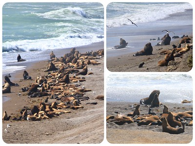 A huge colony of sea lions along a beach. Big bulls with their harems and lots of babies.