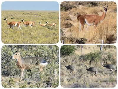 Other critters we saw: guanacos, a relative of llamas, a mara or Patagonian Hare (actually a large rodent), and a rhea, South American flightless bird like a small ostrich.