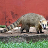 Iguazu Falls, Argentina - This is a Coati