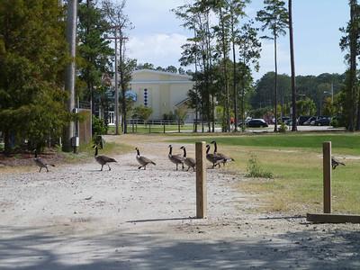 Geese crossing.