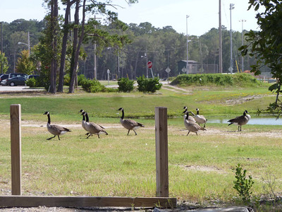 Geese crossing at a park.