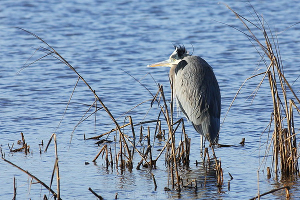 A Very Cold Great Blue Heron