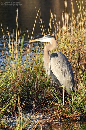 Great Blue Heron in Morning Sun