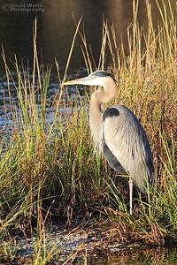 Great Blue Heron in Morning Sun