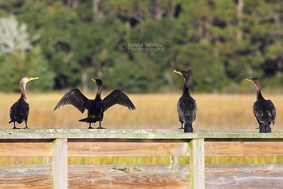 Double Crested Cormorants on Display