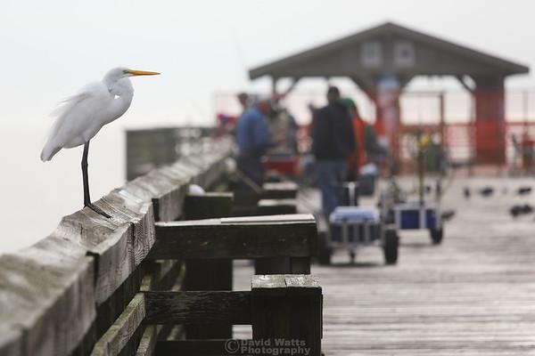Great Egret at Myrtle Beach