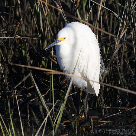 Snowy Egret Hunting in the Weeds