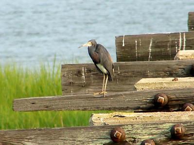 July 20, 2008 (Pitt Street Bridge, Mount Pleasant, Charleston County, South Carolina) -- Tricolored Heron on piers at the end of the bridge