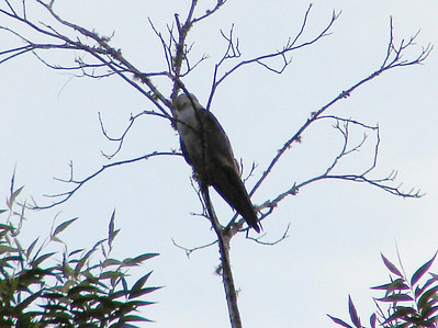 July 19, 2008 (Summerville [Dupont Way], Charleston County, South Carolina) -- Mississippi Kite  in tree across the street from my mother's house