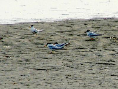 July 20, 2008 (Pitt Street Bridge, Mount Pleasant, Charleston County, South Carolina) -- Least Terns on sandbar during incoming tide at Cove Inlet