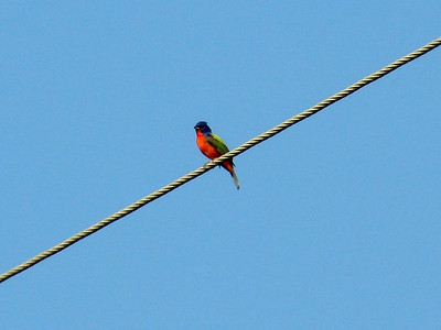 July 22, 2008 (Folly Beach [North End], Charleston Co., South Carolina) - Painted Bunting on utility cable - very vocal.