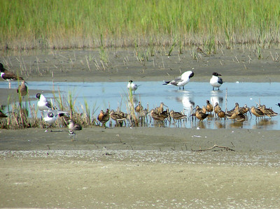 July 22, 2008 (Folly Beach [North End], Charleston Co., South Carolina) - American Oystercatcher, Whimbrel, Laughing Gulls, Semi-palmated Plover, Willet and many Short-billed Dowitchers at tidal pool.