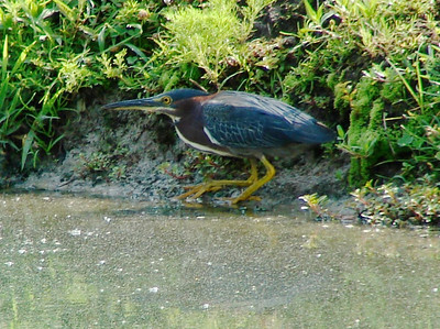 July 20, 2008 (Summerville [Dupont Way], Charleston County, South Carolina) -- Green Heron at edge of pond behind my mother's house