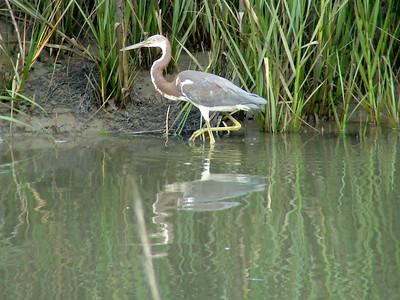 July 20, 2008 (Pitt Street Bridge, Mount Pleasant, Charleston County, South Carolina) -- Tricolored Heron in shallow water by mud flats