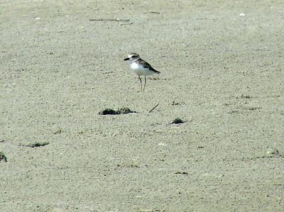 July 22, 2008 (Folly Beach [North End], Charleston Co., South Carolina) - Wilson's Plover on beach near tidal pool.