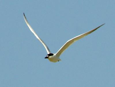 July 22, 2008 (Folly Beach [North End], Charleston Co., South Carolina) - Gull-billed Tern in flight over beach.
