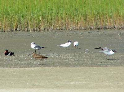 July 22, 2008 (Folly Beach [North End], Charleston Co., South Carolina) - American Oystercatcher, Laughing Gull, Whimbrel and Gull-billed Terns on beach near tidal pool.