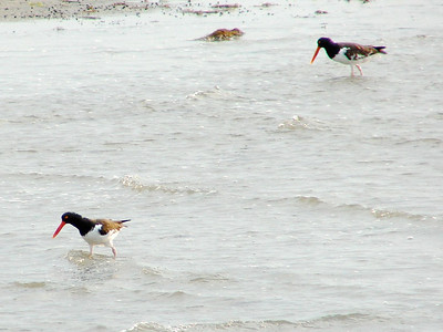 July 20, 2008 (Pitt Street Bridge, Mount Pleasant, Charleston County, South Carolina) -- American Oystercatchers in shallow water of Cove Inlet near sandbar