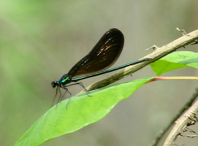 April 19, 2009 - (Francis Beidler Forest [Four Holes Swamp] / Harleyville, Dorchester County, South Carolina) -- Male Ebony Jewelwing Damselfly