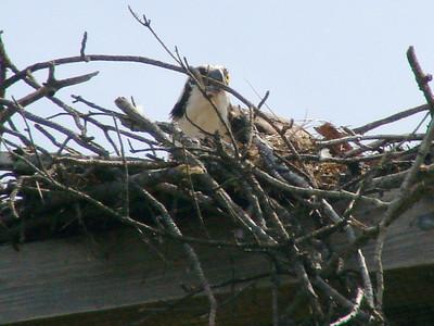 April 18, 2009 - (Dreher Island State Park [near Lake Murray] / Newberry County, South Carolina) -- Osprey on the nest