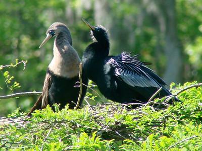 April 21, 2009 - (Audubon Swamp Garden [boardwalk] / Charleston, Charleston County, South Carolina) -- Anhinga with juvenile