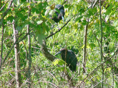 April 21, 2009 - (Audubon Swamp Garden [boardwalk] / Charleston, Charleston County, South Carolina) -- Little Blue Herons