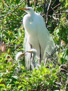 April 21, 2009 - (Audubon Swamp Garden [boardwalk] / Charleston, Charleston County, South Carolina) -- Great Egret on nest with two chicks