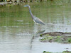 April 20, 2009 - (Pitt Street Bridge / Mount Pleasant, Charleston County, South Carolina) -- Tricolored Heron