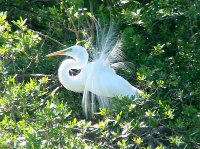 April 21, 2009 - (Audubon Swamp Garden [boardwalk] / Charleston, Charleston County, South Carolina) -- Great Egret